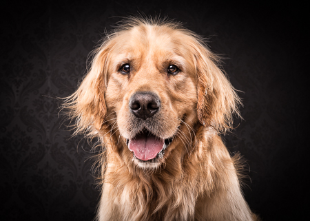 Marley the Golden Retriever