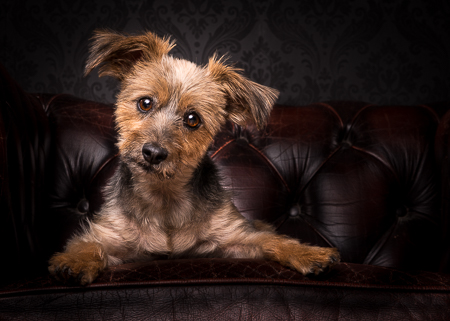Alvin the Silky Terrier