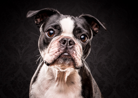Barney the Boston Terrier