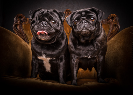 Star & Jack the Pair of Pugs