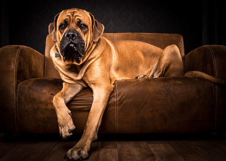 Roman the English Mastiff